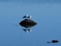 Måger hygger sig