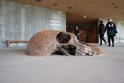 Hammershus Besøgscenter, forstørret kopi af kranie