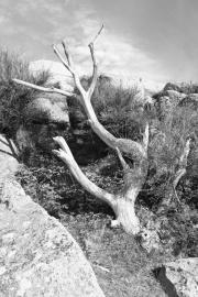 Dødt træ på Fyrvejen